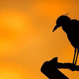 Andres Leon - Night Heron Silhouette