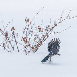 Patti Deters - Blue Jay Playing in Snow