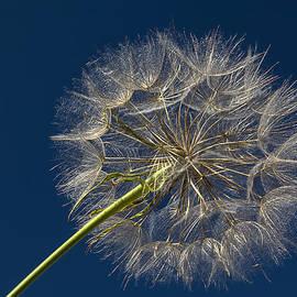Patti Deters - Dandelion Sparkle