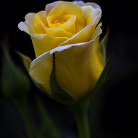 Patti Deters - Single Yellow Rose