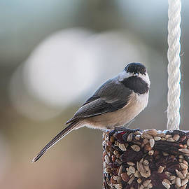 Patti Deters - Black-capped Chickadee