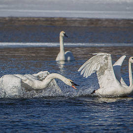 Patti Deters - Feisty Trumpeter Swans