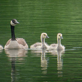 Patti Deters - Geese Family