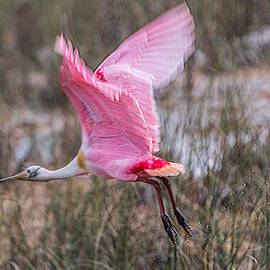 Patti Deters - Roseate Spoonbill Flight