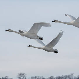 Patti Deters - Three Swans in Flight