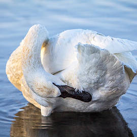 Patti Deters - Trumpeter Swan Preening