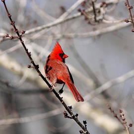 Travis Truelove - Northern Cardinal - Beautiful Morning