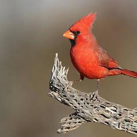 Bryan Keil - Northern cardinal