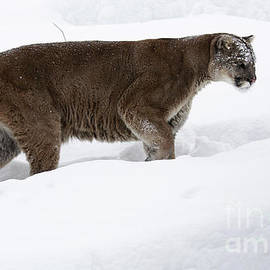 Inspired Nature Photography Fine Art Photography - Northern Depths Cougar in the Winter Snow