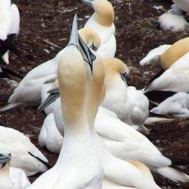 Dan Comeau - Northern Gannet Bird embrace