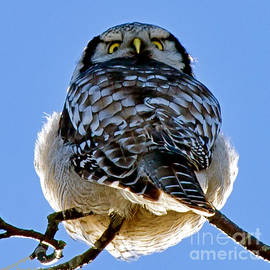 Torbjorn Swenelius - Northern Hawk Owl looks around