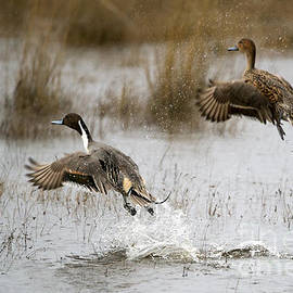 Mike Dawson - Northern Pintail Flight