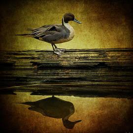 Jordan Blackstone - Northern Pintail Duck