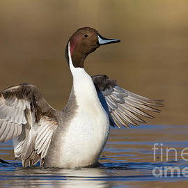 Bryan Keil - Northern Pintail wing flap