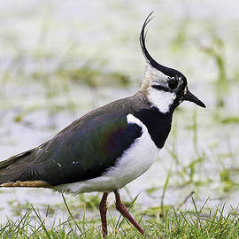 Mr Bennett Kent - Northern Plover Green Lapwing or Peewit