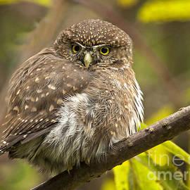 Inge Riis McDonald - Northern Pygmy Owl