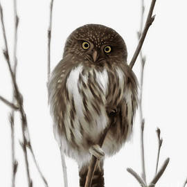 Reflective Moments  Photography and Digital Art Images - Northern Pygmy Owl - Little One