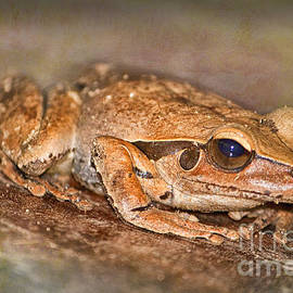 Wendy Townrow - Northern Stoney Creek Frog