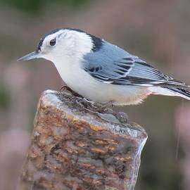 MTBobbins Photography - Nuthatch Post