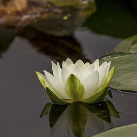 Calazones Flics - Nymphaea alba- White Water Lily