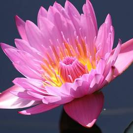 Bruce Bley - Nymphaea Water Lily