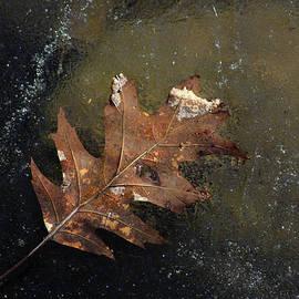 Jim Vance - Oak Leaf on Ice
