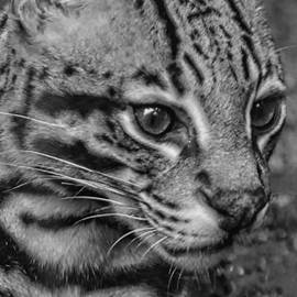 Kathleen Struckle - Ocelot Black And White