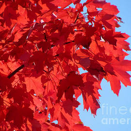 Gardening Perfection - October Glory Blue Sky