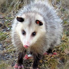 MTBobbins Photography - Oh Possum