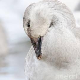 Gina Levesque - Snow Goose