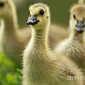Inspired Nature Photography By Shelley Myke - Okay Everyone Follow Me - Canada Geese Goslings