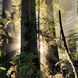 Leland D Howard - Old Growth Forest Light