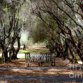 Amy Fearn - Old Olive Orchard