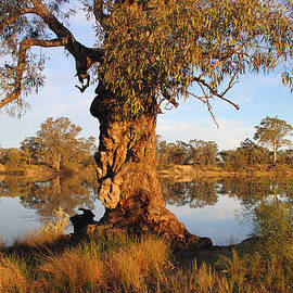 Carole-Anne Fooks - Old River Red Gum on the River Murray