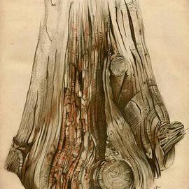 Elena Yakubovich - Old Tree Stump - Sketch Chalk Charcoal Sepia - Elena Yakubovich