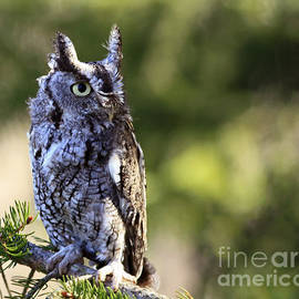 Inspired Nature Photography Fine Art Photography - On Alert Majestic Eastern Screech Owl