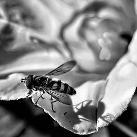 Leif Sohlman - On the edge  Hoverfly sitting on the edge of a white flower B/W
