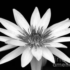 Sabrina L Ryan - One Black and White Water Lily