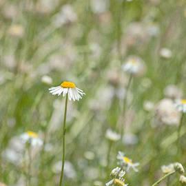 Kim Hojnacki - One - Daisy Flower