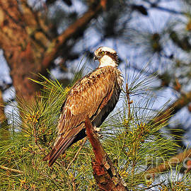 Al Powell Photography USA - Opulent Osprey