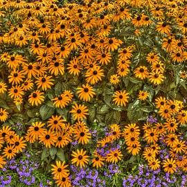 Jim Lepard - Orange and purple Daises