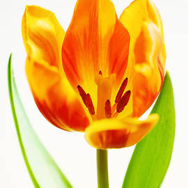 LHJB Photography - Orange and Yellow colored tulip blooming