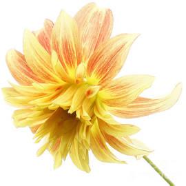 Inge Riis McDonald - Orange and yellow Dahlia