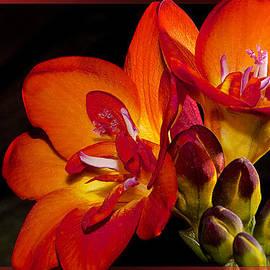 Phyllis Denton - Orange Beauty