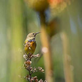 David Van der Want - Orange breasted Sunbird
