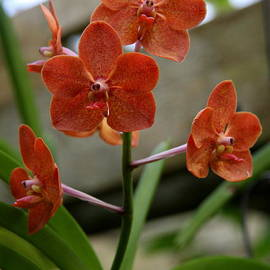 Christiane Schulze Art And Photography - Orange Colored Orchid