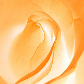 Chris Anderson - Orange Cream Rose