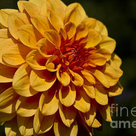 Michelle Orai - Orange Dahlia