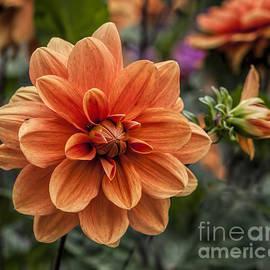 Shirley Mangini - Orange Dahlia