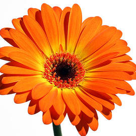 Juergen Roth - Orange Gerber Daisy Perfection